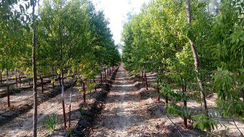 Growing Conditions for Sandalwood .