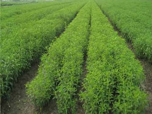 Yield Of Stevia Crop.