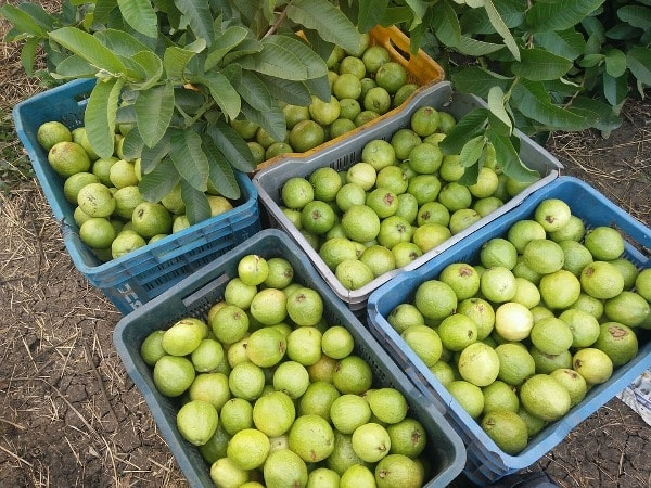 Guava Farming Project Report, Cost and Profit Analysis | Agri Farming