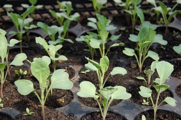 Cabbage Seedlings.