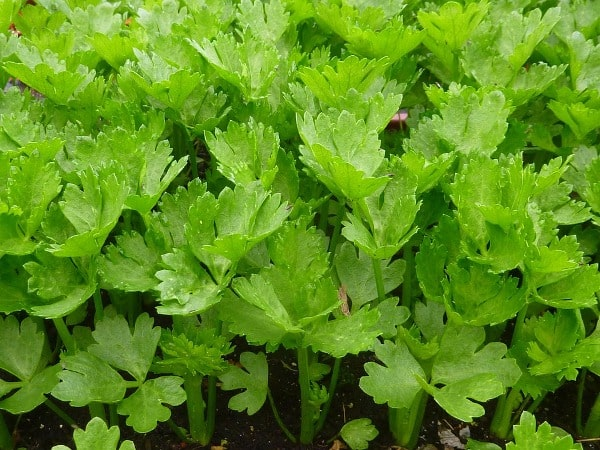 Celery Growing Conditions.