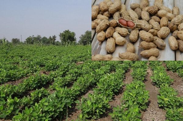 Economics Of Groundnut Crop.