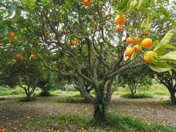 Economics Of Orange Cultivation.
