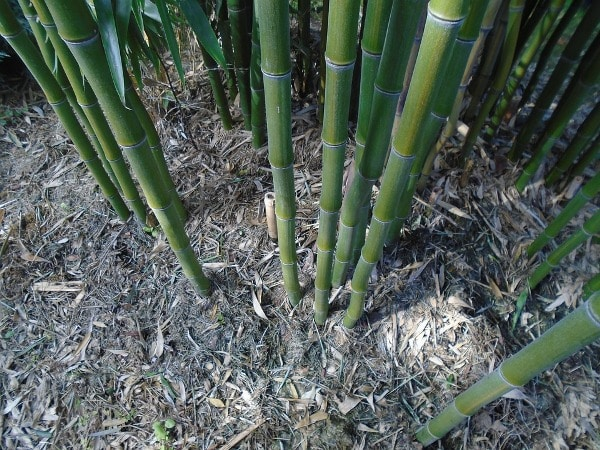 Bamboo Farming Project Report, Cost and Profit Details | Agri Farming