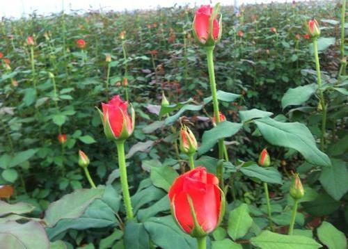 Economics of Dutch Rose Cultivation.