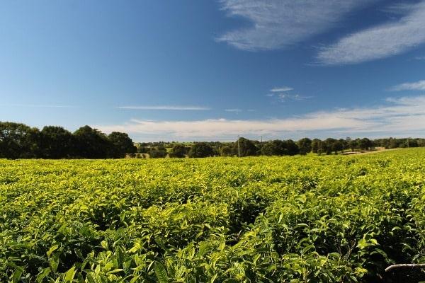 Economics of Tea Farming.