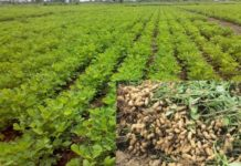 Groundnut Farming Project Report.