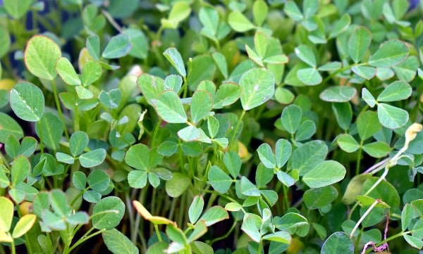 Growing Conditions for Methi Leaves.