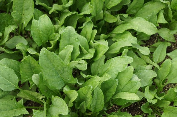 Harvesting of Spinach.