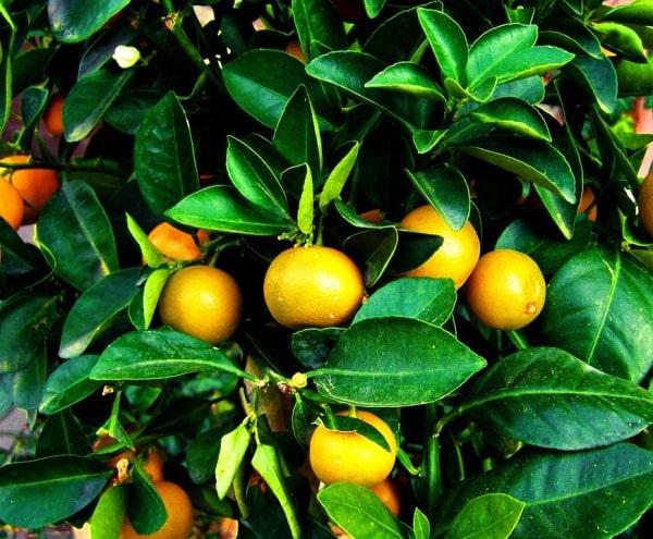 Land Preparation for Orange Orchard.