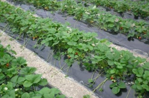 Mulching Film In Growing Strawberries.