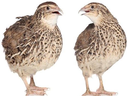 Quail Farming Project Report, Cost and Profit Analysis