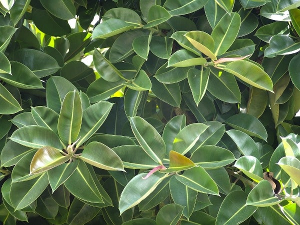 Rubber Tree Leaves.