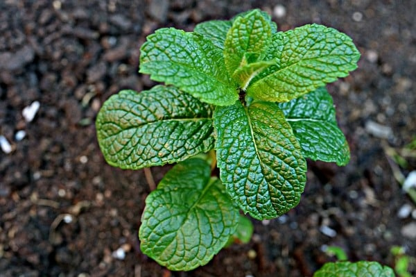 Sunlight for Mint Growing.