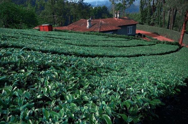 Tea Intercultural Operations.