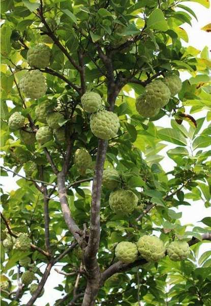 Custard Apple Tree.