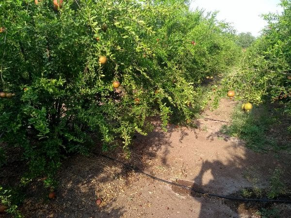 Drip Irrigation In Pomegrante Orchard.