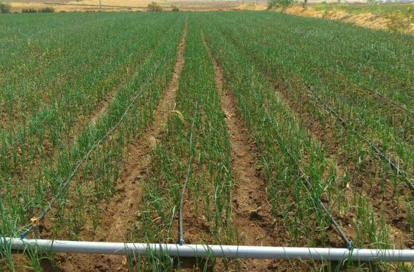 Drip Irrigation for Onion crop.