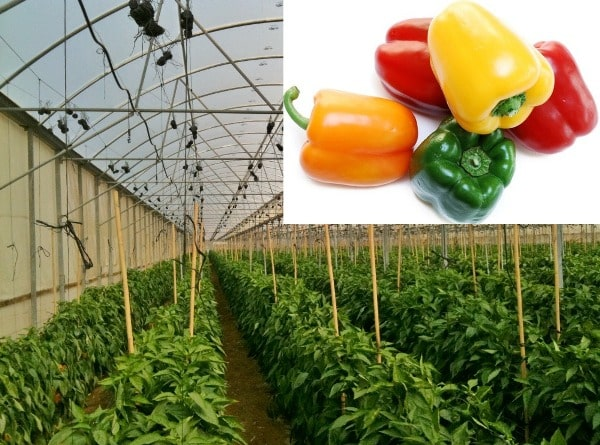 Economics of Greenhouse Capsicum Farming.