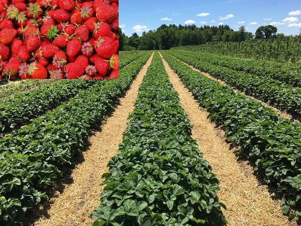 Strawberry Farming Project Report, Cost, Profit Guide | Agri Farming