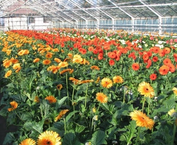 Gerbera Project Report Polyhouse Greenhouse Cultivation Agri Farming