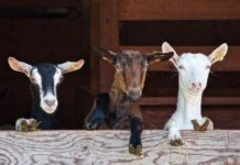 Osmanabadi Goat Breed Profile Information | Agri Farming
