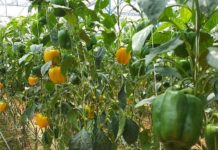 Greenhouse Capsicum Cultivation Project Report.
