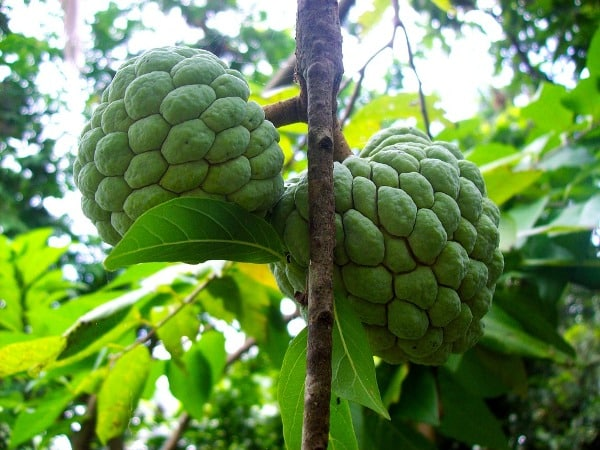Growing Conditions of Custard Apples.