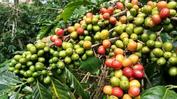 Intercultural Practices in Coffee Garden.