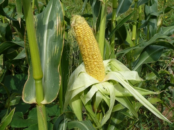 Scope and Importance of Maize.