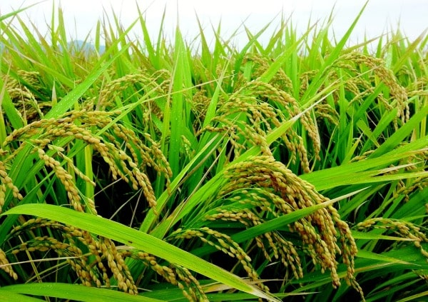 Scope and Importance of Rice.