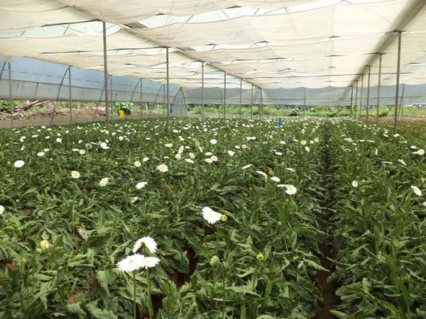 Subsidies and Loans for Gerbera Cultivation in Polyhouse.