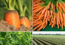 Frequently Asked Questions About Carrot Farming.
