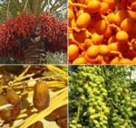 Frequently Asked Questions About Dates Farming.