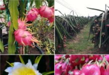 Frequently Asked Questions About Dragon Fruit Farming (Pitaya).