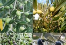 Frequently Asked Questions About Olive Farming.