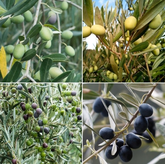 Frequently Asked Questions About Olive Farming (FAQs) | Agri Farming
