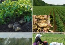 Frequently Asked Questions About Potato Farming.