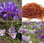 Frequently Asked Questions About Saffron Farming.