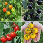Frequently Asked Questions About Tomato Farming.
