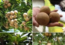 Sapota Cultivation Project Report.