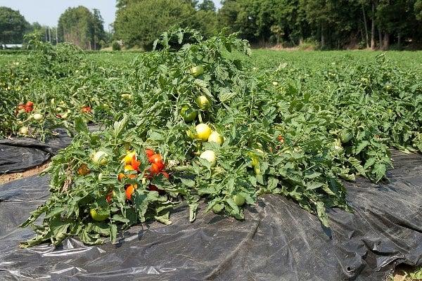 Tomato Farming Project Report, Cultivation Economics   Agri Farming