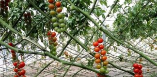 Tomato Farming Project Report.