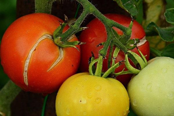 Tomato Fruit Cracking.