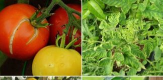 Tomato Pests and Diseases.