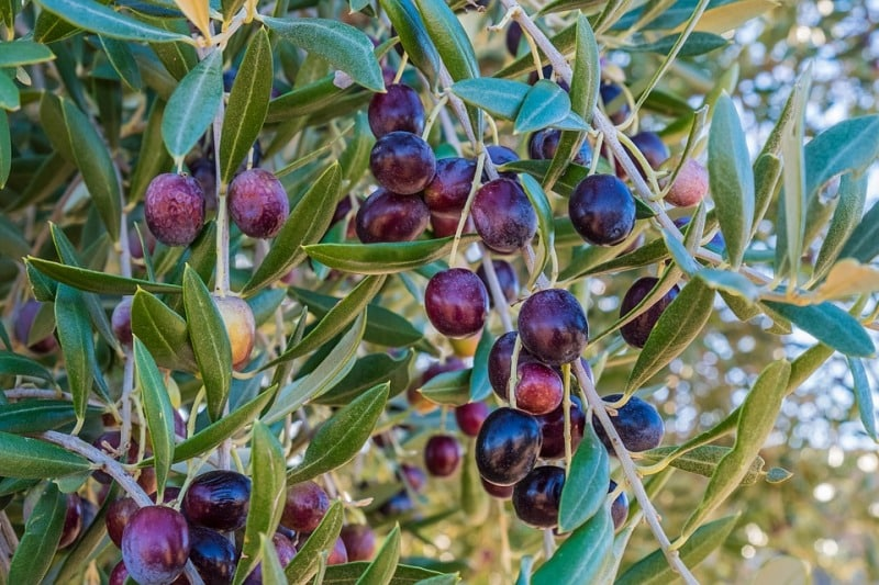 An Olive Tree.
