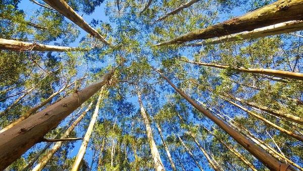 Eucalyptus Cultivation Project Report.