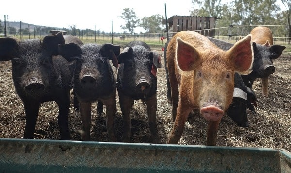 Feed Management In Pig Farming.