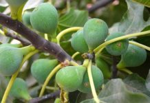 Fig Farming Project Report.