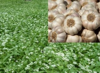 Garlic Cultivation Project Report.